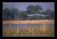 Let's Go to the Wild Africa (bocavermelha-l.b.) Tags: travel film water zimbabwe f5 goliathheron ardeagoliath afszoomnikkor500mm14d afiteleconvertertc20e nikon–f5 inafrica z5oo shootingwithnikonf5 wingsinflight asasemvôo