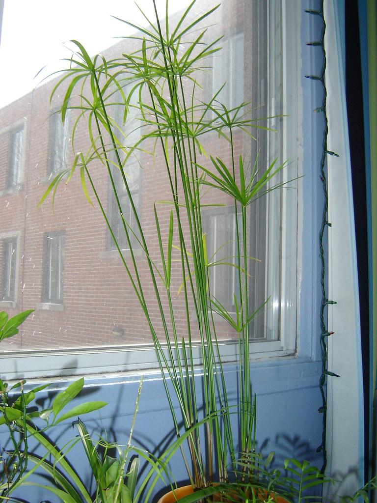 Papyrus plante exterieur free cyperus papyrus with papyrus plante exterieur gallery of plante - Papyrus plante d interieur ...