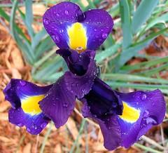 purple iris opening (mimbrava) Tags: iris flower nature closeup garden mimbrava purpleiris centralfocus setflowersset1
