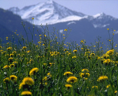 Spring Flower Mountain Snow (hn.) Tags: flowers copyright mountain mountains alps flower berg austria spring heiconeumeyer europe blossom blossoms meadow meadows dandelion berge alpen alp dandelions mountainmeadow gebirge copyrighted lwenzahn loewenzahn bergwiese springmeadow