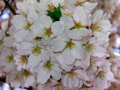 Bouquet of blossoms (jasohill) Tags: 2005 pink flower japan cherry japanese town hall spring blossom bloom sakura a70 canona70 hanami senmaya yakuba