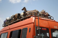 goats in transit