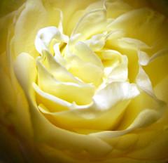 nido di petali (Vir gin ia) Tags: white flower macro rose petals rosa fiore petali bianco ccmpclosencounter