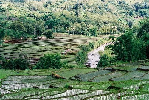 Rice paddies close to Moni village