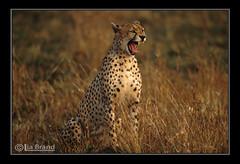 GET ME TO THE WILDERNESS (bocavermelha-l.b.) Tags: wild kenya fotolog safari cheetah bocejo afszoomnikkor500mm14d afiteleconvertertc20e nikonf5 acinonyxjubatus bigcats yawnnn 500mmf4dii tc20eii wildlifephotography z5oo c20ii shootingwithnikonf5