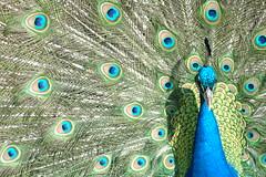 [フリー画像] [動物写真] [鳥類] [孔雀/クジャク] [求愛行動]       [フリー素材]
