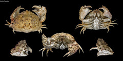 Calappa torulosa (Galil, 1997) (GaboUruguay) Tags: crabe pinza crostacei decapodi chele arthropod   cranc krabo  kepiting  gaforre  cua krabba krabi  krabbi yenck portn krabbe ketam tarisznyark taskurapu  gran krab   krabas  alimasag rak  cancer pajek krabis favme animalia arthropoda crustacea malacostraca decapoda brachyura calappidae crab cangrejo crustaceo marino marine animal specimen philippines bulky carapace chelae claw canon sx50 powershot calappa torulosa macrofotografa shamefacedcrab boxcrab domeshaped blackbackground