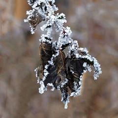 Cold decoration 2 (rotraud_71) Tags: winter hoarfrost raureif nebel fog leaves macro bokeh abstract