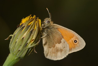 Coenonympha pamphilus (4)