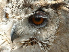 African Eagle Owl (Roger B.) Tags: owl bird muncaster worldowltrust