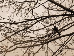 Watcher Over Artists (Dave Ward Photography) Tags: 2005 sky blackandwhite bw black tree bird animal animals sepia fauna critter unfound urbannature critters crow creatures creature corvus davewardsmaragd pss:opd=1109720882 pss:opd=1109715812