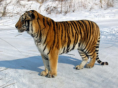 Siberian Tiger (mke1963) Tags: harbin manchuria heilongjiang china