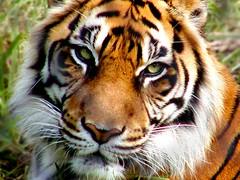 Tiger (hodad66) Tags: animal 1025fav zoo hawaii tiger flickrbigcats