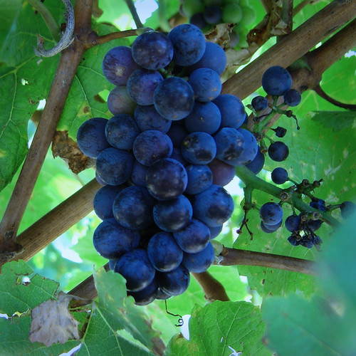 Wine Theft Causes German Winemaker to Lose Entire Harvest Overnight