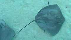 MooreaRay1 (libraryman) Tags: cruise pacific princesss ray rays stingrays polynesia moorea blue aqua
