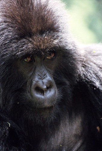 Mountain Gorillas - Adult Female
