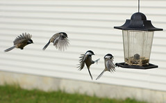 Landing Sequence (Kaddy) Tags: deleteme nature topf25 birds topv111 fly interestingness topf50 topv333 bravo saveme4 saveme5 saveme6 saveme savedbythedeletemegroup saveme2 saveme3 saveme7 topv1111 been1of100 flight overlay images topv222 landing saveme10 saveme8 saveme9 chickadee sequence topf150 topf100 topf200 saveme11 kaddy matchpoint savemejesus 200viewswinner nikonstunninggallery matchpointwinner