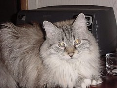 Grace on 01/19/2004 (corsi photo) Tags: family pet cats pets animals cat kitten kitty grace ragdollcat