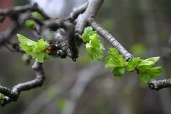 spring (hockadilly) Tags: green scotland spring shoots twigs dilomar05 10millionphotos