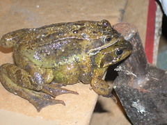 elvanfoot frogs 2 (biotron) Tags: elvanfoot scotland farm rave barn frogs piggyback humping mating springtime nookie amphibian