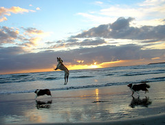 Kangaroo Dog (Just Jo) Tags: dog pet beach dogs 1025fav wow wonder sandiego action 100v10f frisbee intheair yourfavorites keepher fantasticthemesunexpectedthings