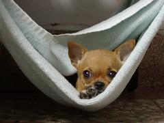 33 (Chrischang) Tags: 33 chihuahua dog pet