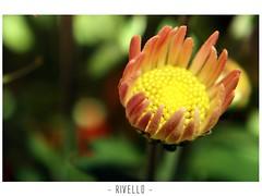 Nature's Colours #2 (rivello) Tags: color colour nature flor flower macro rivello cores closeup leveza love natureza