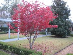 fall (freestone) Tags: autumn trees colour tree fall leaves yard florida urbannature tallahassee