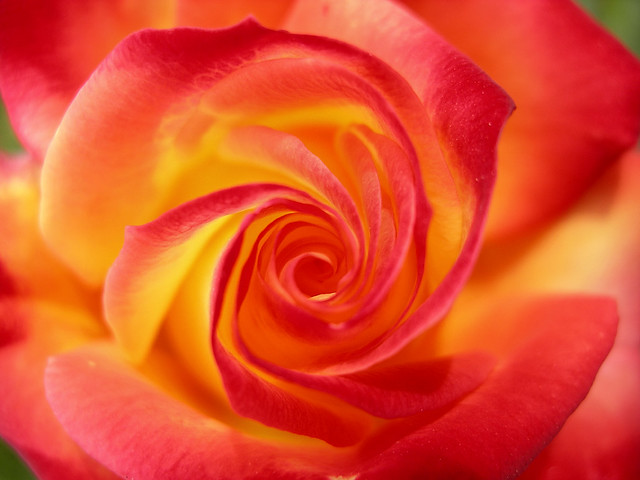 Morning spiral rose