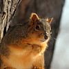 ...Staying COOL in the Heartland... (Random Images from The Heartland) Tags: chris wild nature animal southdakota rural ilovenature rodent furry squirrel bailey local redsquirrel topf20 chrisbailey treemonkey bail56 randomimagesfromtheheartland chrisbaileyimages