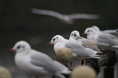 Depth Of Field (tim ellis) Tags: bird seagull gull depthoffield photofriday suttonpark blackheadedgull msh0416 msh04162