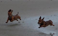 Puppy's power... (Buikschuivers) Tags: beach dogs alex goofy strand fly dachshund 5bestdogs daschund teckel 223 flyinganimals teckels