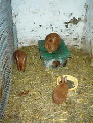 Bwown Wabbits (Purrrpl_Haze) Tags: bunny animals furry rabbits animalpark beesten konijnen konijntje wallonia parcparadisio hayop kuneho mabalahibo