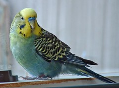 green & yellow parakeet