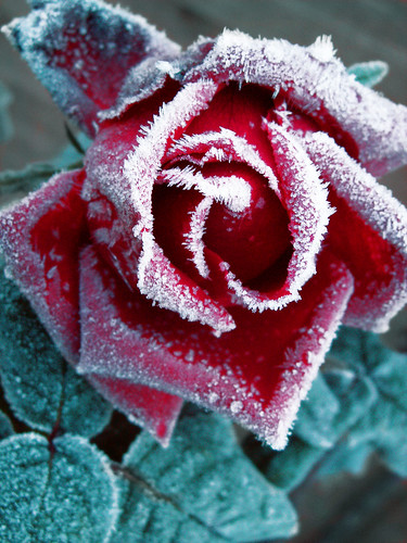 Rose Red; Frost White