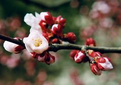 nakayama4 (meltronic) Tags: plumblossoms plum ume hana takarazuka japan