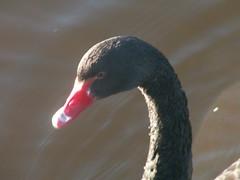 PICT0722 (Robert 't Hoen) Tags: swan zwaan kopvanzwartezwaan kerst2005 kerst sibculo twente landalgreenparks landal overijssel nederland christmas christmas2005 netherlands