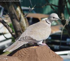 Eurasian Collared-Dove (Laura Erickson) Tags: bird dove eurasiancollareddove streptopeliadecaocto
