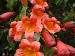 First Trumpet Vine Blooms (Sparky2*) Tags: flowers orange coral spring