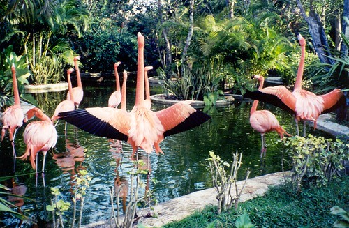 Cozumel, Flamingo Dance