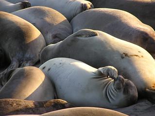 Elephant Seal Scratch