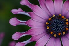 (rosemary*) Tags: 2005 pink flower nature wow topf50 topv555 bravo 500plus 500plus20 osteospermum 1500v60f 1000v40f