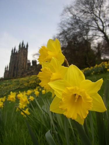 daffodil flower flowers edinburgh scotland spring macro yello lellow green daffodils