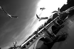 Aerobatic show (Gianni Dominici) Tags: 2005 city bridge sky urban bw italy rome roma topf25 birds topv111 canon wow 350d topf50 topv555 topv333 topf75 italia topv999 topv444 january 100v10f topv222 topv777 topv666 topv888 4elementiaria 4giannid 4egiannid fotoleggendo2008romamor