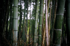 bamboo (yi) Tags: japan 2005 kyoto lomo lca bamboo bambooforest arashiyama