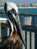 Florida Brown Pelican 02 (dulcelife) Tags: brown pelican brownpelican florida clearwaterbeach clearwater beach blue water bluewater bird seabird animals pier dulcelife beahes pelicans birds seabirds olympus olympusd490 wow