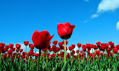 roozengaarde (e X i t 1 3 p h o t o g r a p h y) Tags: flowers red flower nature washington topf50 tulips places tulip skagitvalley saywa alemdagqualityonlyclub