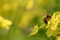 (rosemary*) Tags: flower nature bee 2005 yellow wow