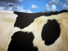 Cow (Davoud D.) Tags: cow bovine animalprint
