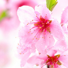 spring warm rainy wind (**sirop) Tags: pink flower pastel crying rainy palepink cherryblossams squair